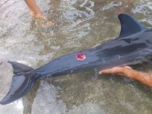 Dauphin à long bec avec morsure de Cutter Shark coté droit de la queue