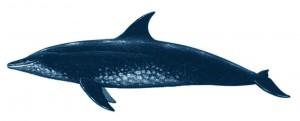 dauphin bec etroit