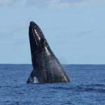 tete baleine