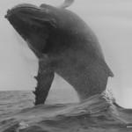 MATA TOHORA saut Baleine à bosse Rurutu sept 2014