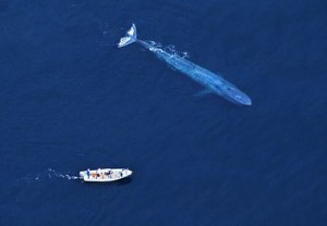 baleine bleue2
