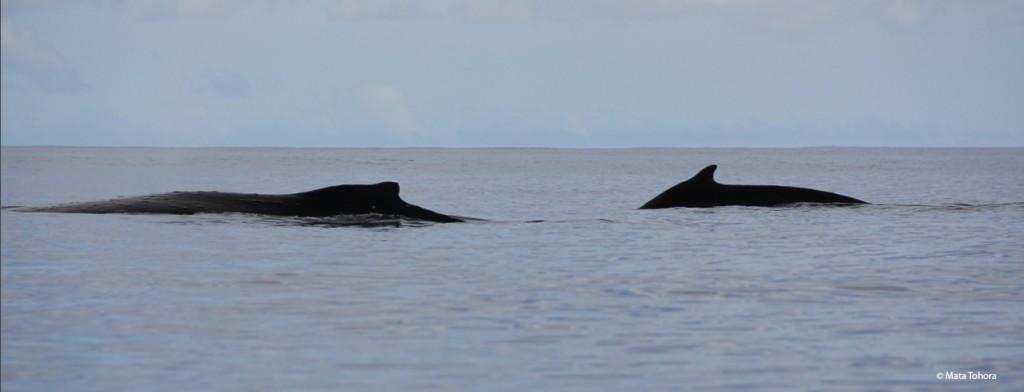 Baleine et son baleineau 17-08-14 Te Maruata tahiti