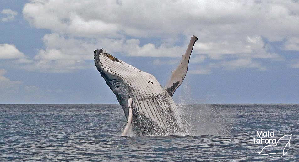 Les 1eres baleines arrivent déjà en Polynésie ! » Mata Tohora